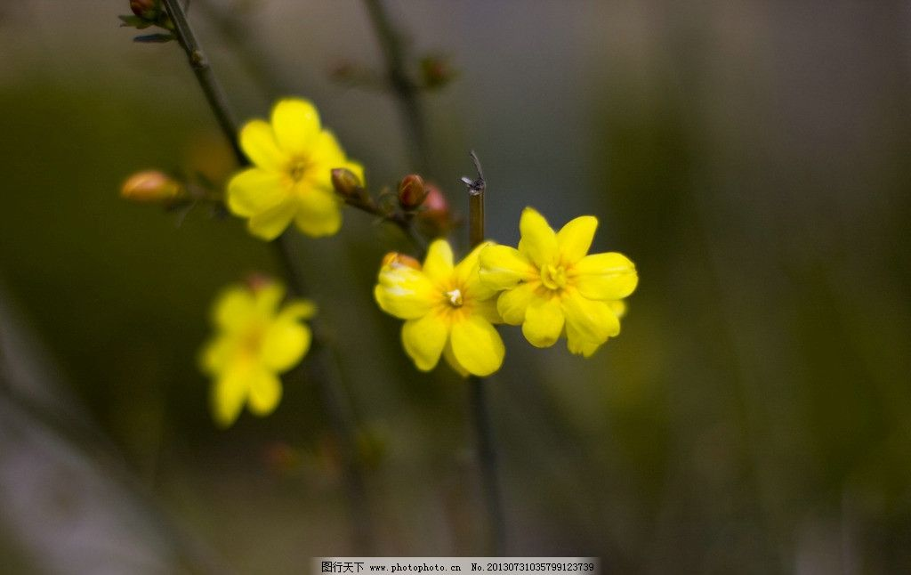 迎春花 花 春天 黄花 黄色 花的世界 花草 生物世界 摄影 240dpi jpg