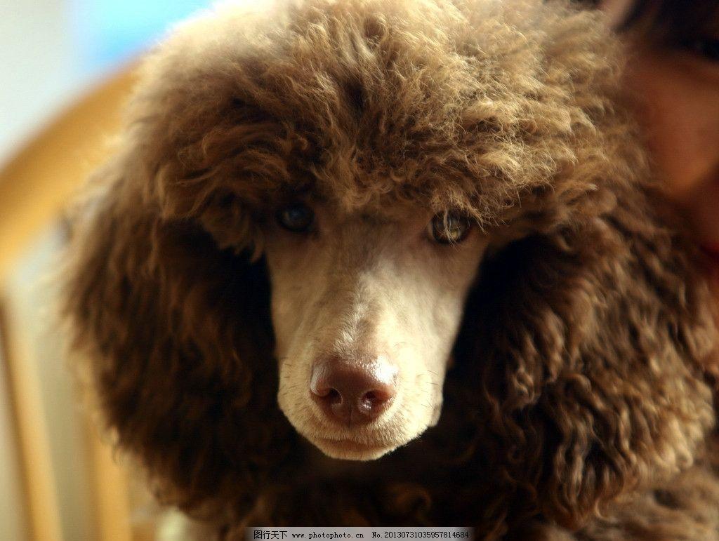 贵兵犬造型 贵兵犬 泰迪犬 幼师装 棕色 狗狗 造型 家禽家畜 生物世界