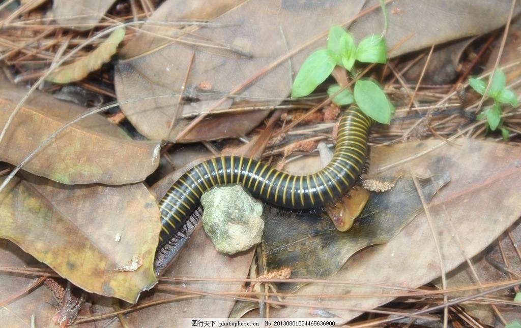 蜈蚣 蛇 虫 土地 毒蛇 野生动物 生物世界 摄影 72dpi jpg