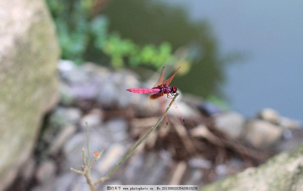 蜻蜓 红色 动物 翅膀 生物 昆虫 生物世界 摄影