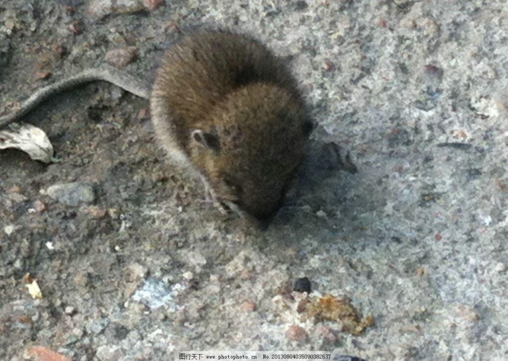 小老鼠 动物 可爱 胖 觅食 小动物 摄影