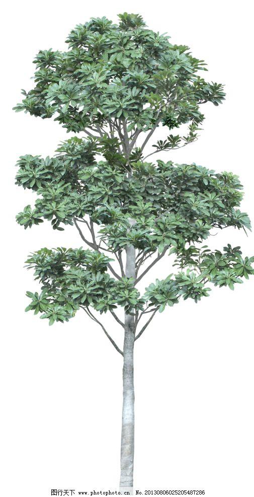 植物 树木 园林植被 乔木 单棵树 树木树叶 生物世界 设计 72dpi png
