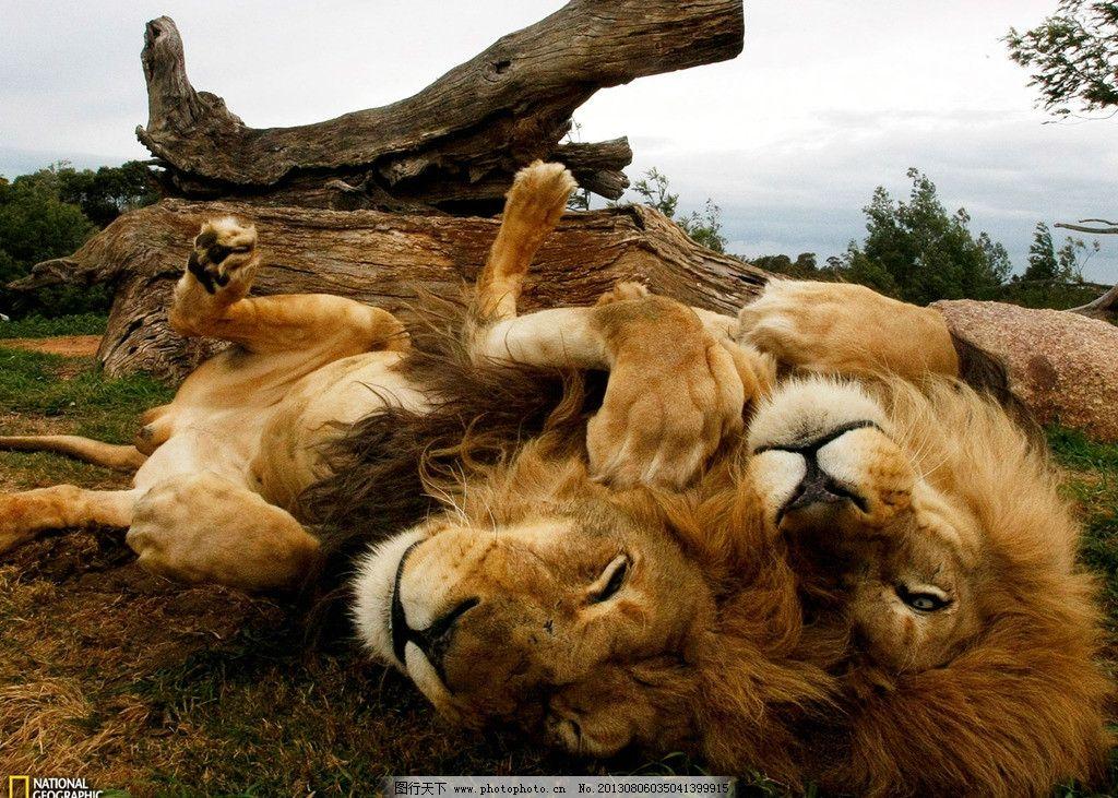 国家地理 狮子 lion 非洲 原野 野生 动物 野生动物 生物世界 摄影
