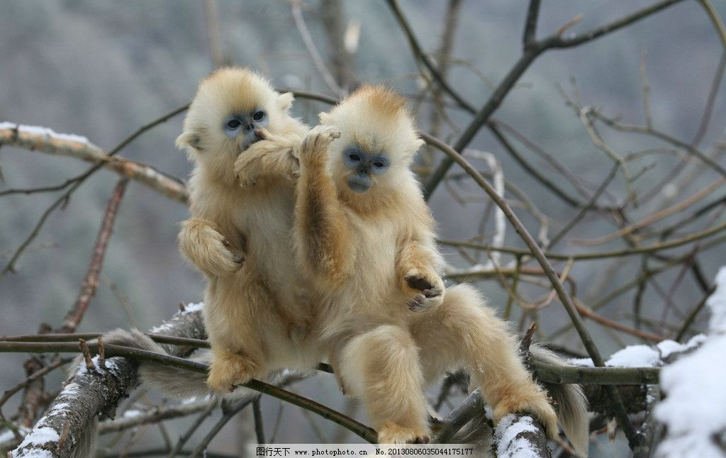 金丝猴可爱 猴子 金丝猴 可爱 神农架金丝猴 神农架 野生动物 生物