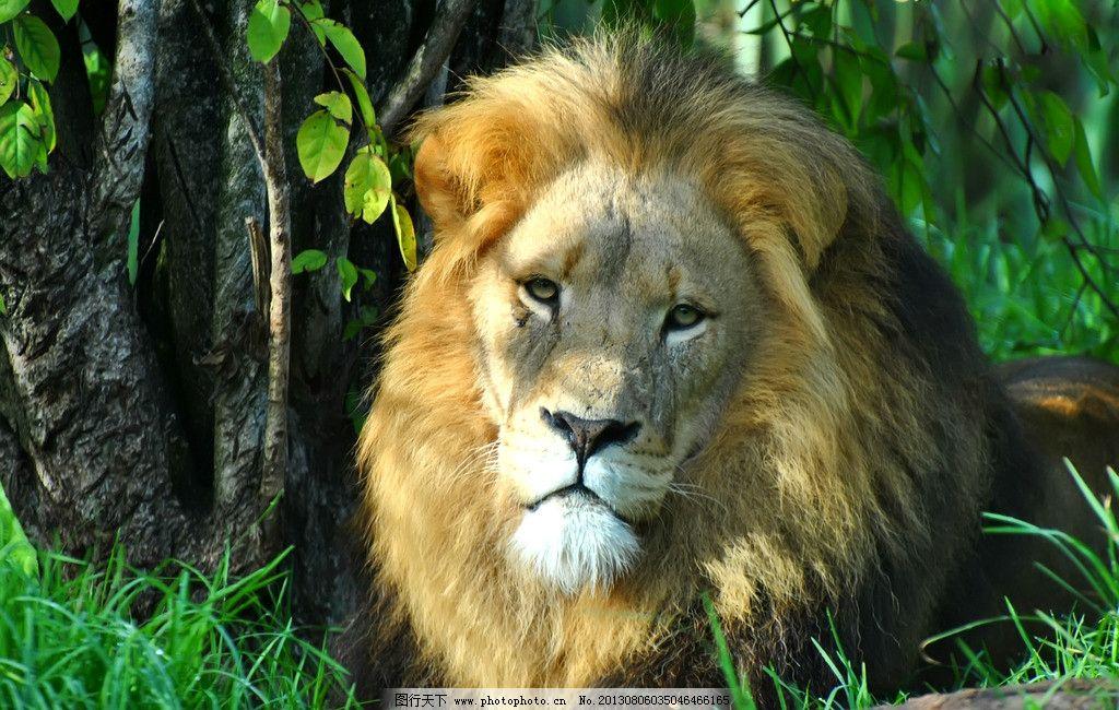 动物 猛兽 非洲狮 雄狮