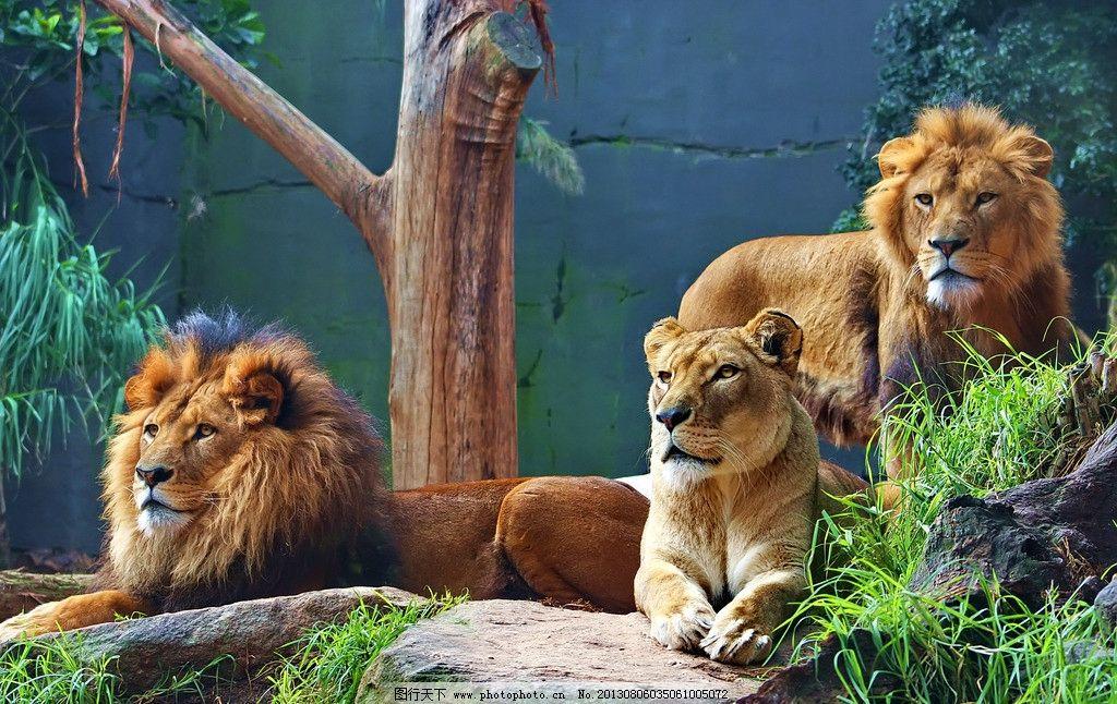 狮群 野生动物 猫科动物 食肉动物 猛兽 非洲狮 雄狮 狮子 雌狮