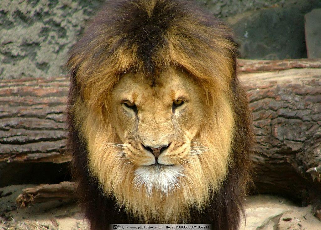 狮子 野生动物 猫科动物 食肉动物 猛兽 非洲狮 雄狮 狮子素材 狮子