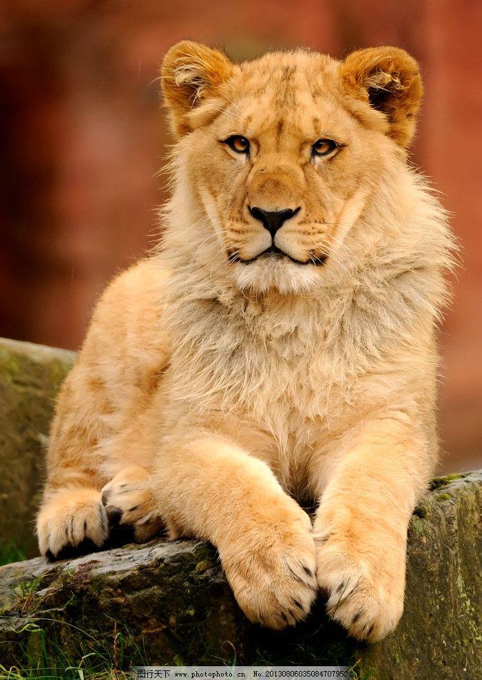 狮子 野生动物 猫科动物 食肉动物 猛兽 非洲狮 雌狮 狮子素材 狮子