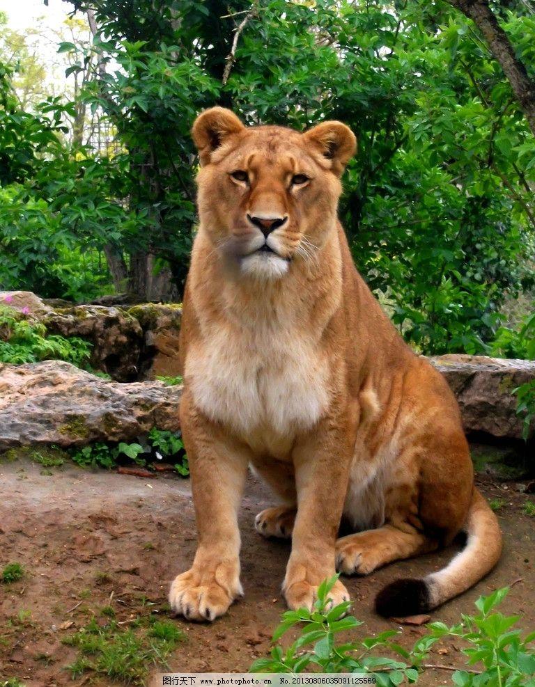 狮子-狮子图片