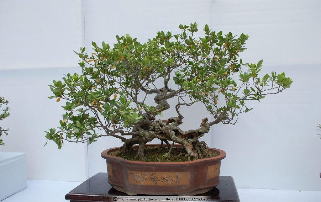 盆景 盆栽 植物 绿化 中国传统文化 艺术 文化 室内风景 风景 树木