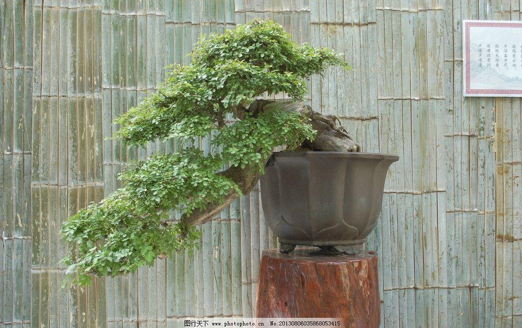 植物 绿化 盆景 盆 盆栽 中国传统文化 艺术 文化 室内风景 风景 树木