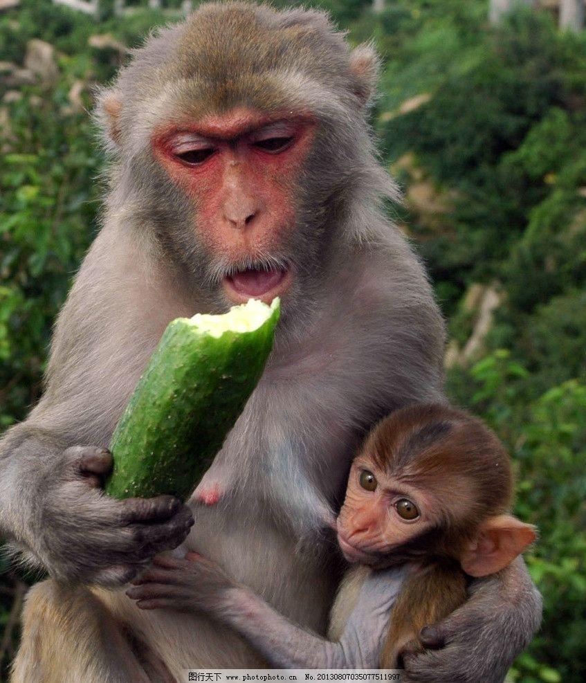 猴子 小猴 深山 树林 黄瓜 野生动物 生物世界 摄影 2dpi jpg