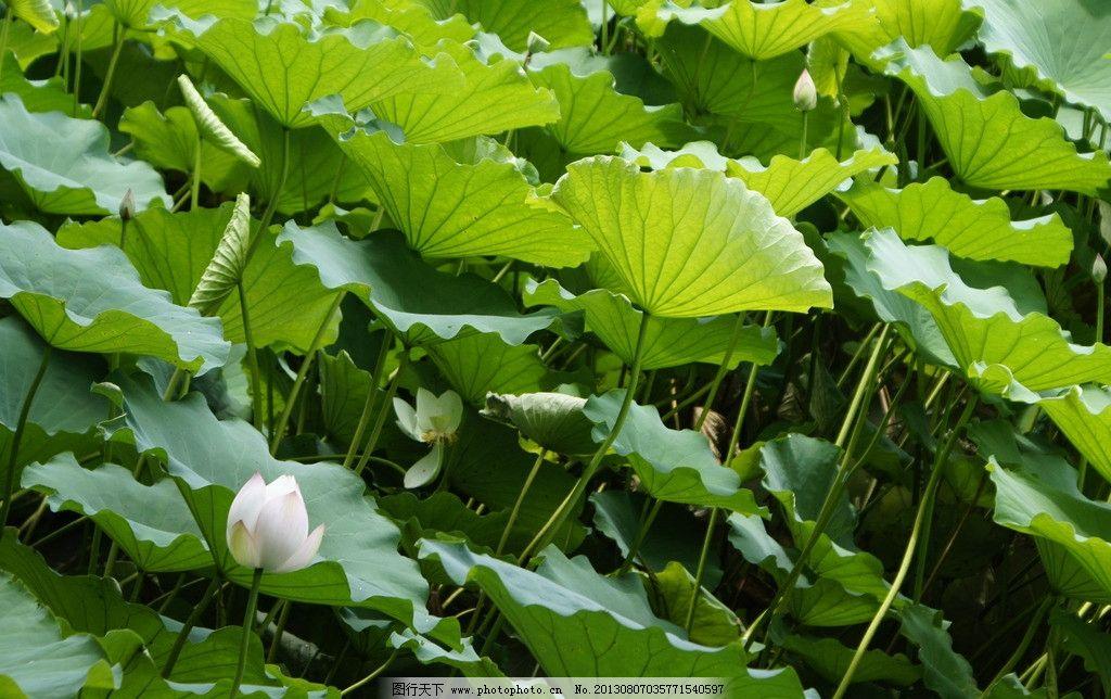 荷花 绿叶 荷叶 高清 夏天 荷花图片素材下载花草 花卉 花朵 生物