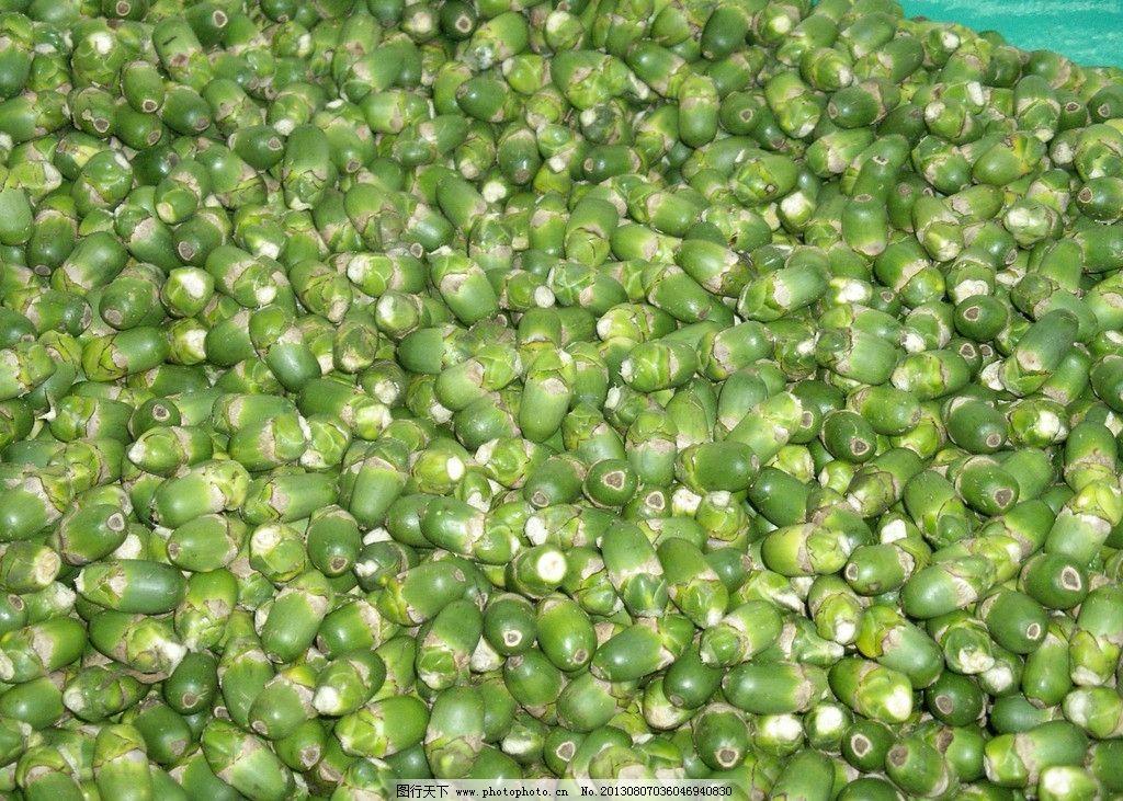 槟榔果 槟榔树 槟榔 槟榔树林 树林 风景 其他生物 生物世界 摄影 72