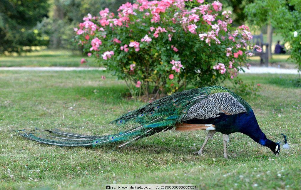 孔雀 孔雀图片素材下载 鸟类 自然风景 草丛 青草 野生动物 生物世界