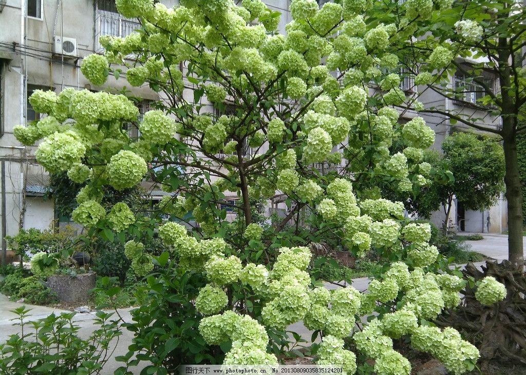 琼花 木绣球 忍冬科 荚蒾属 灌木 树木树叶 生物世界 摄影 72dpi jpg
