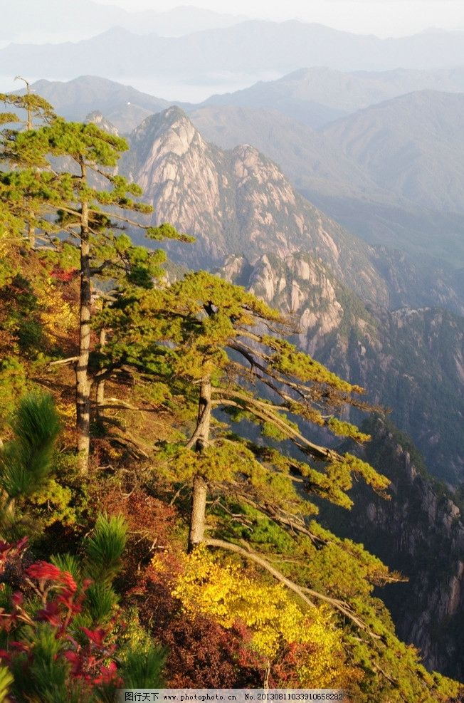 黄山松图片,安徽 松树 朝阳 秋天 秋日 清晨 国内旅游