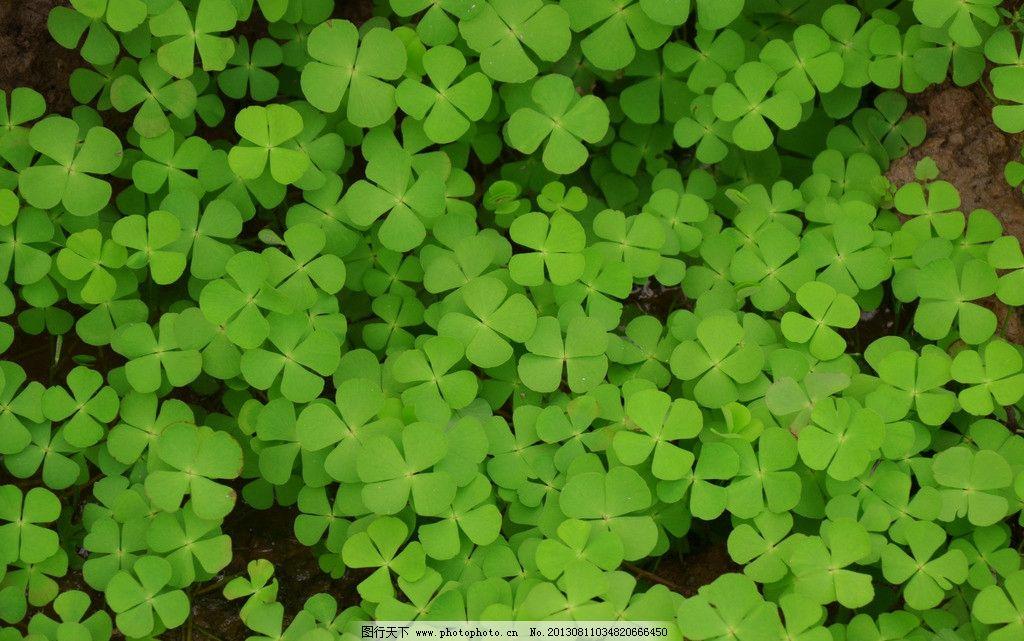高清四叶草 植物 草木 绿色图片 自然风景 自然景观 摄影