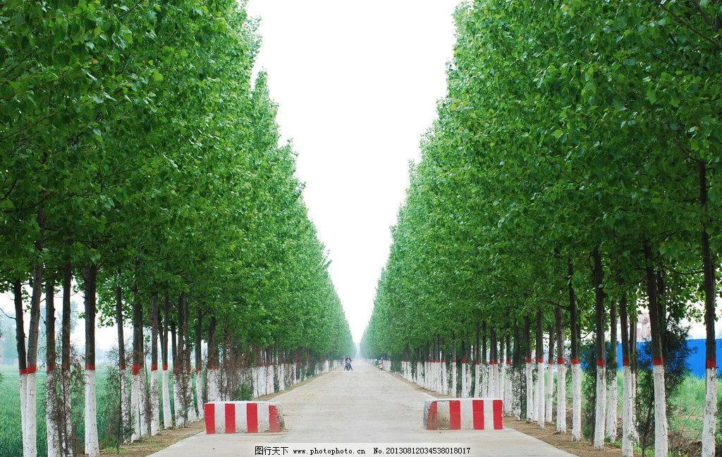 杨树 防护林 林荫道 乡间道路 路旁植树 摄影图片