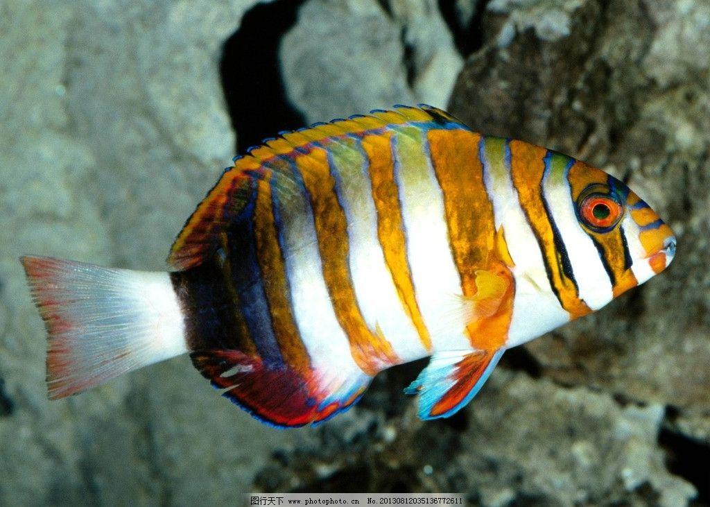 斑纹鱼 海底鱼 海底世界 鱼 深海鱼 五彩鱼 海底 海底动物 海底鱼类