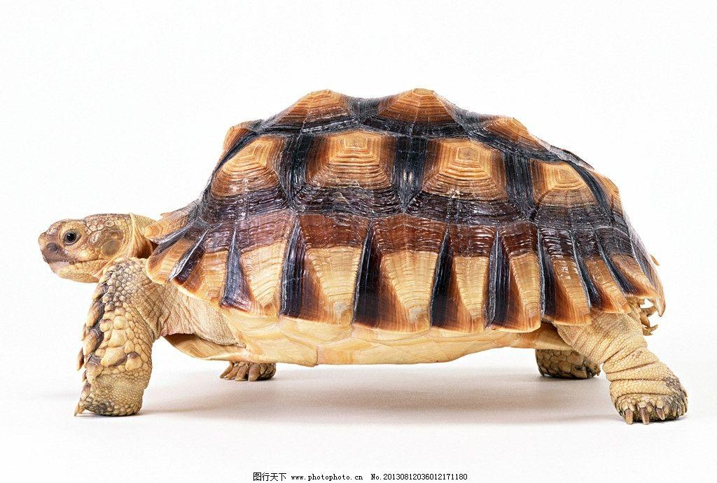 乌龟 龟 水龟 两栖动物 名龟 金钱龟 其他生物 生物世界 摄影 350dpi