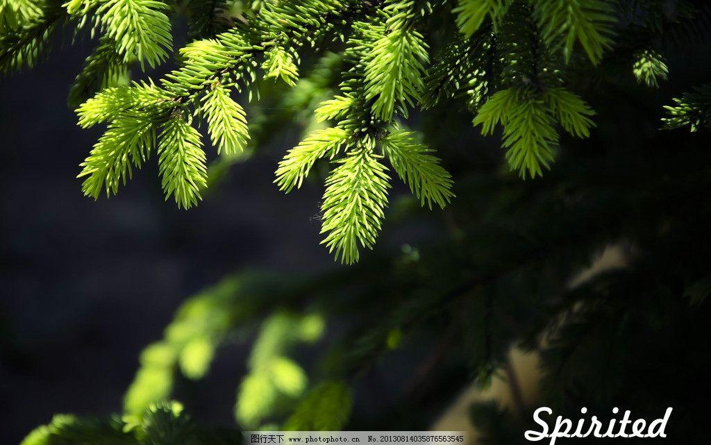 松针 植物 绿色 松树 自然 树木树叶 生物世界 摄影 300dpi jpg
