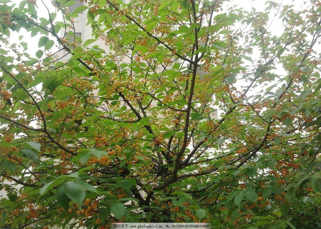 樱桃树 樱桃红 树木树叶 生物世界 摄影 72dpi jpg