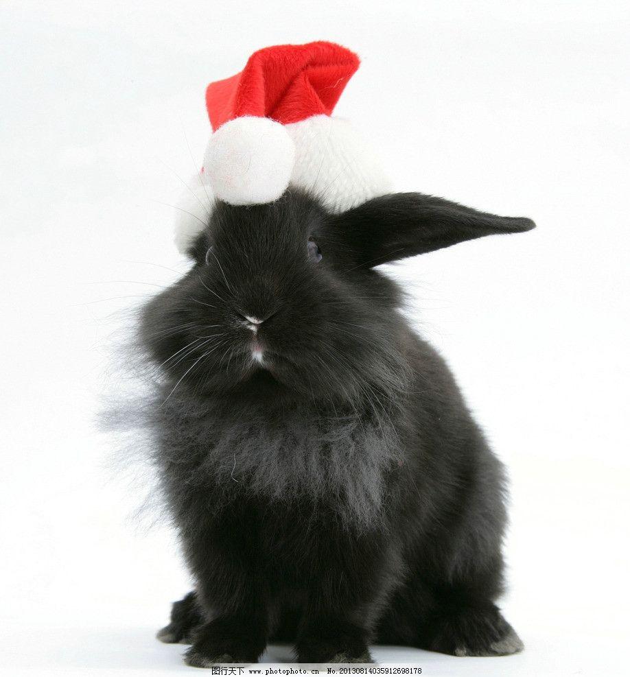 兔子 小动物 动物 可爱 兔年 生肖 圣诞 家禽家畜 生物世界 摄影 300