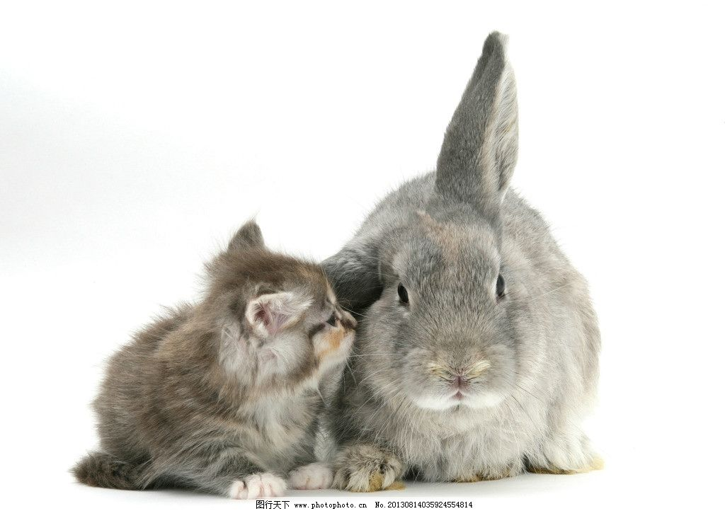 兔子 小动物 动物 可爱 兔年 生肖 小猫 家禽家畜 生物世界 摄影 300