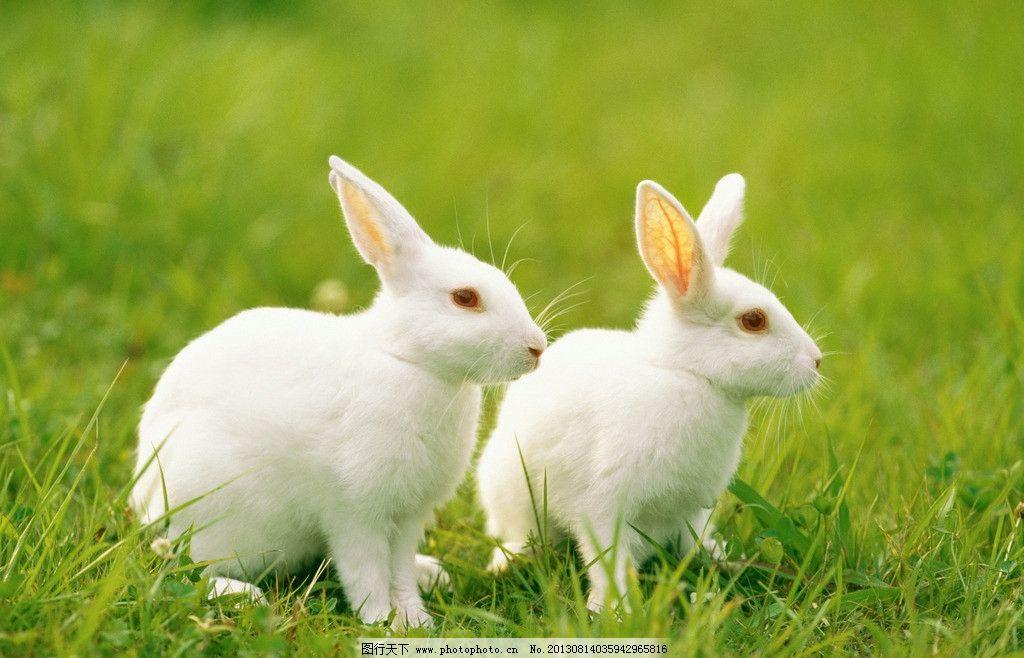 兔子 小动物 动物 可爱 兔年 生肖 家禽家畜 生物世界 摄影 300dpi