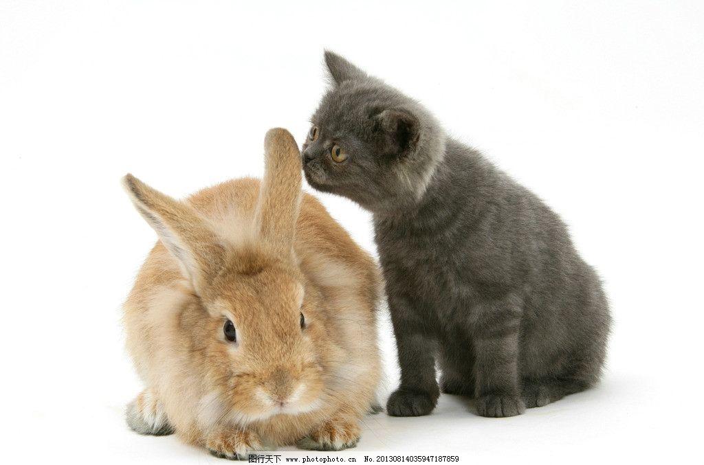 猫 兔子 小动物 动物 可爱 小猫 家禽家畜 生物世界 摄影 300dpi jpg