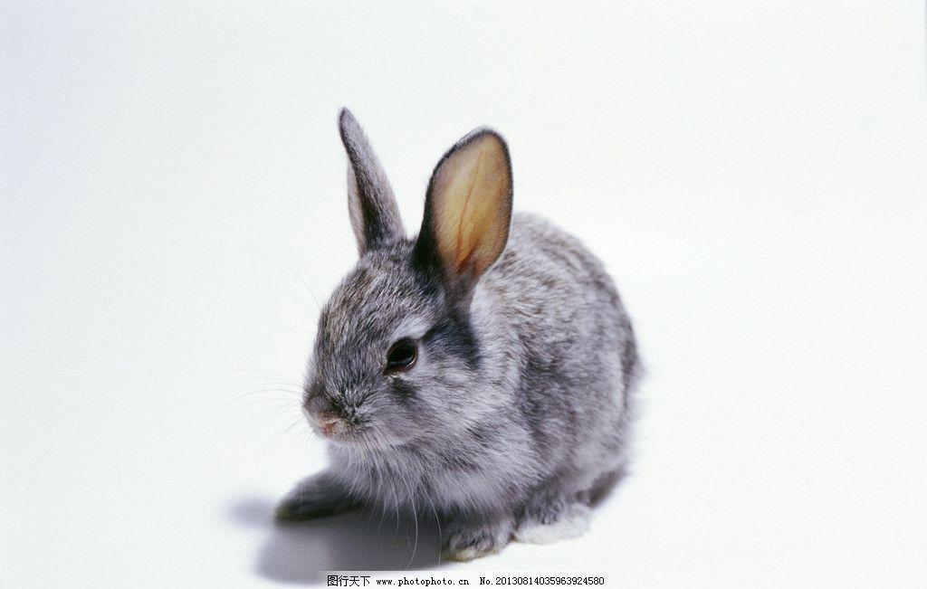 兔子 小动物 动物 可爱 兔年 生肖 家禽家畜 生物世界 摄影 350dpi jp