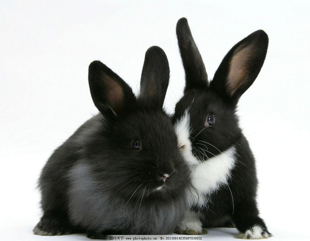 兔子 小动物 动物 可爱 黑色 家禽家畜 生物世界 摄影 300dpi jpg