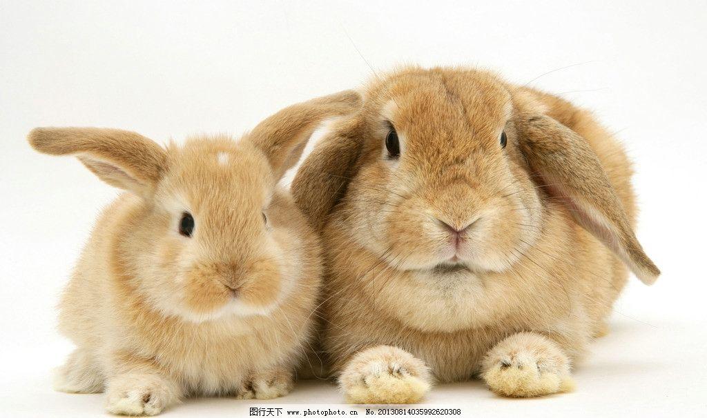 兔子图片,小动物 可爱 兔年 生肖 摄影-图行天下图库
