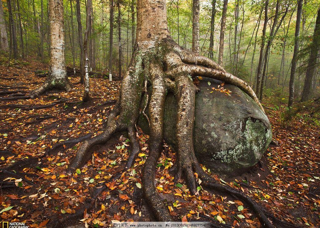 树根 树 干枯 土壤 树木树叶 生物世界 摄影 风景名胜 自然景观 100