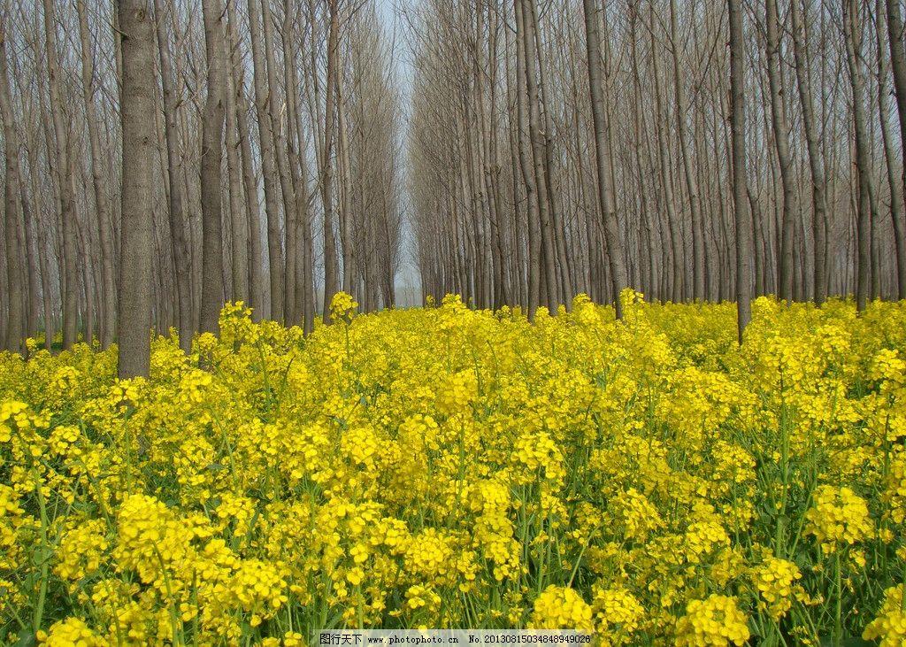 油菜花与树林风光 花草 油菜花 油菜 树林 蓝色天空 自然风景 自然