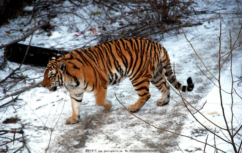 老虎 北京动物园 冬天 猫科 野生动物 雪地 草丛 凶猛 生物世界 摄影