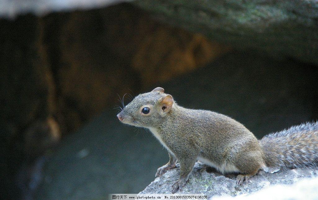 松树 黄山 秋游 旅游 松鼠 灰色 野生 可爱 野生动物 生物世界 摄影