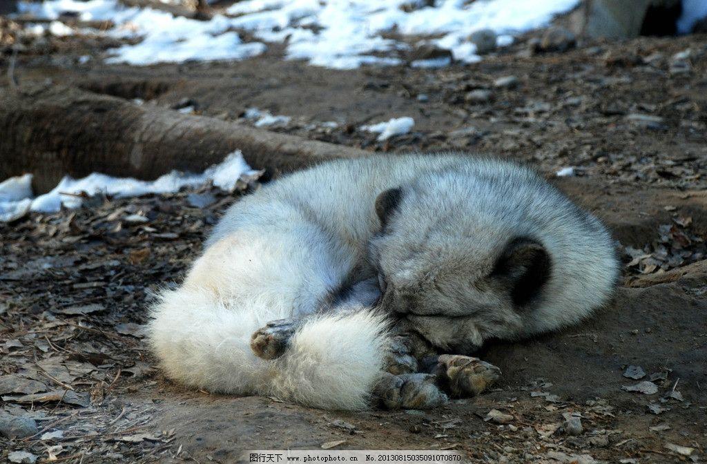 动物园的白狐狸图片