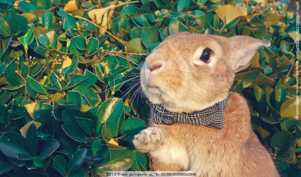 兔子 复古 可爱 特写 绅士 家禽家畜 生物世界 摄影 72dpi jpg