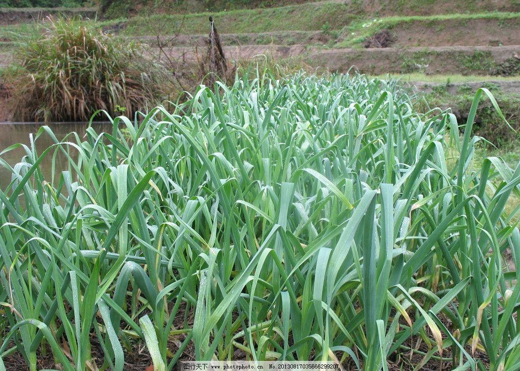 蒜苗 大蒜 蒜 大蒜苗 蔬菜 绿色 植物 种植 菜地 大蒜地 生物世界
