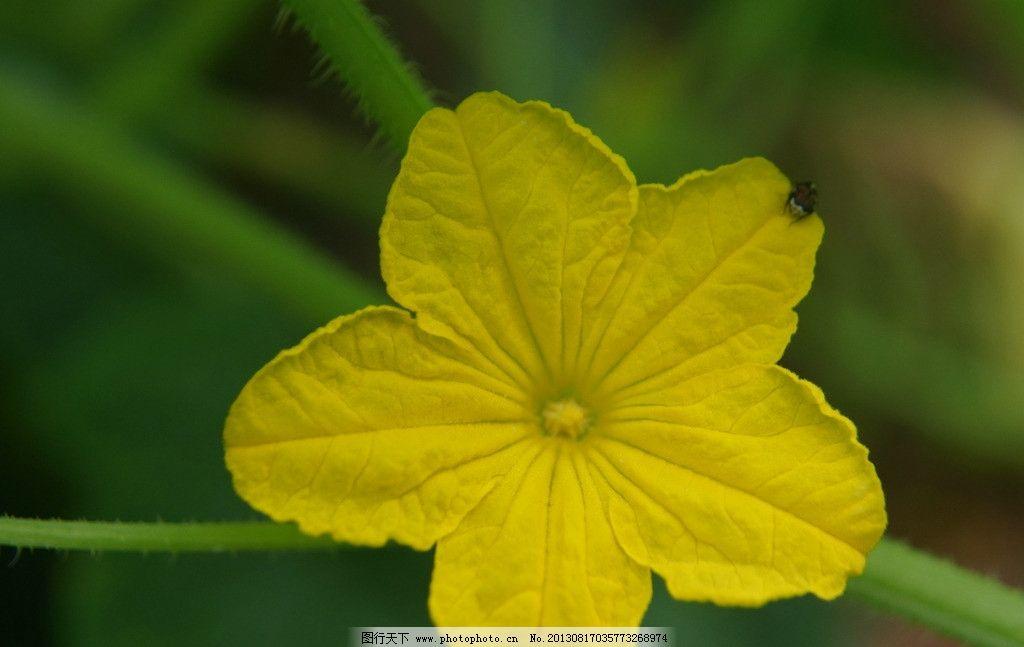 黄瓜花 小黄花 花朵 花蕊 摄影