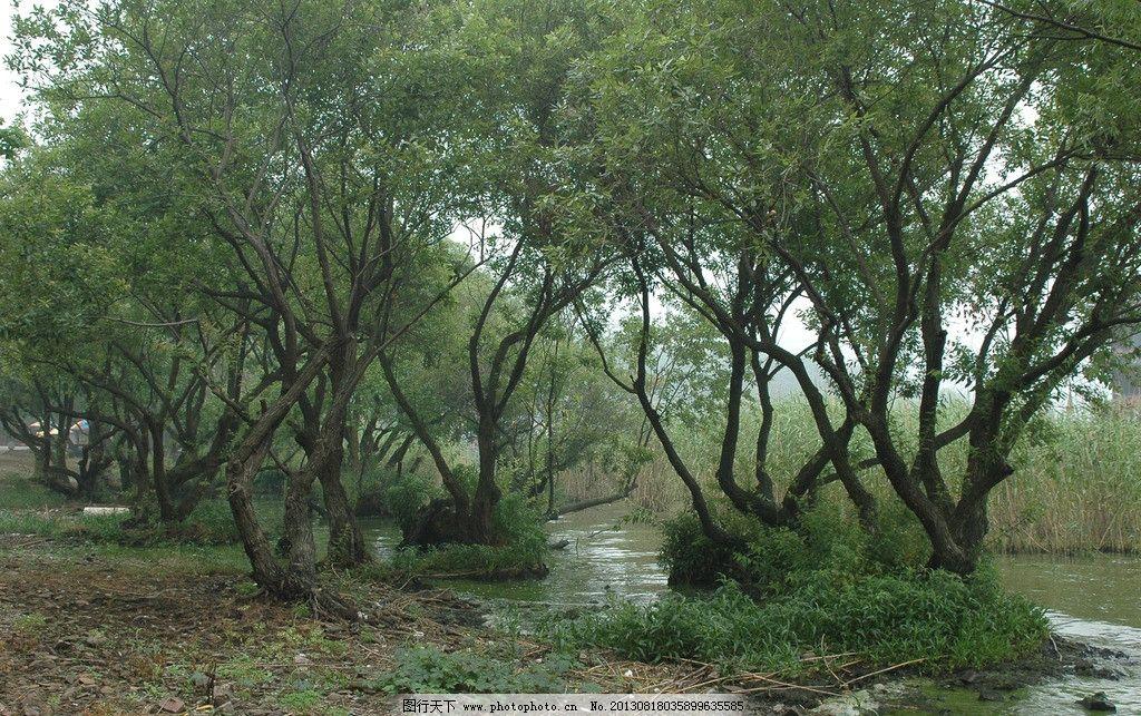 水边老树图片_树木树叶_生物世界_图行天下图库