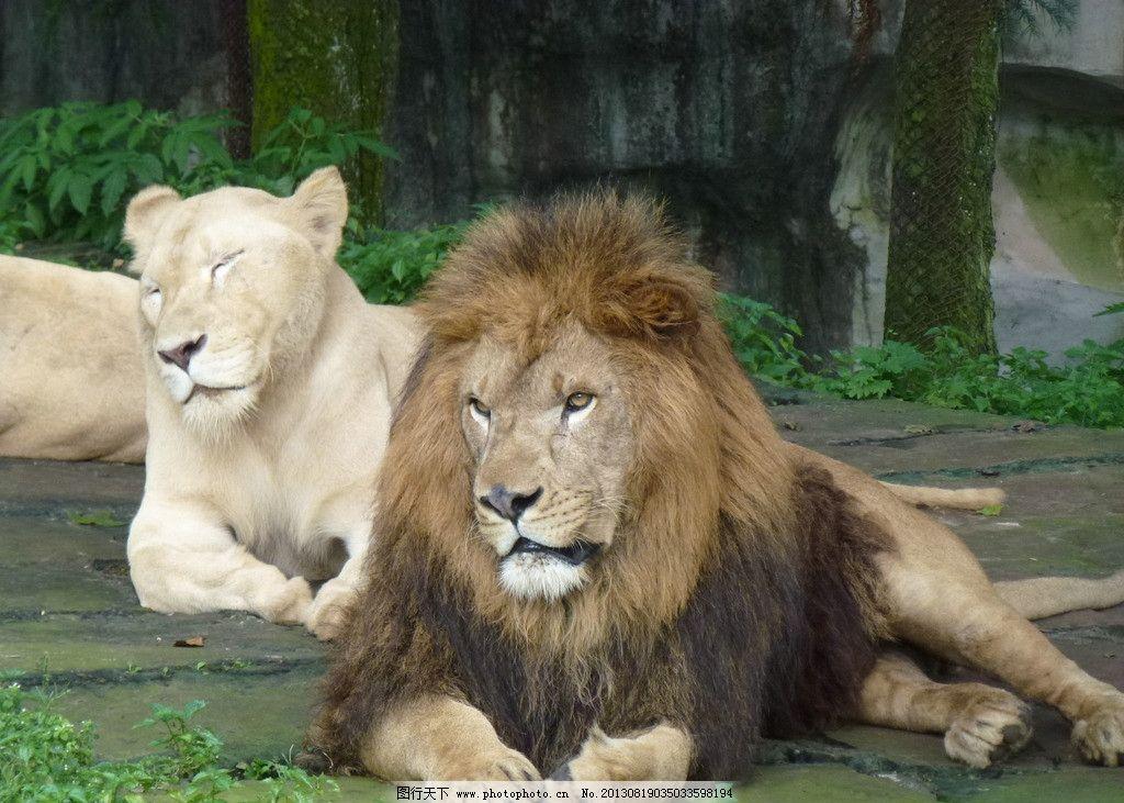食肉动物 猛兽 非洲狮