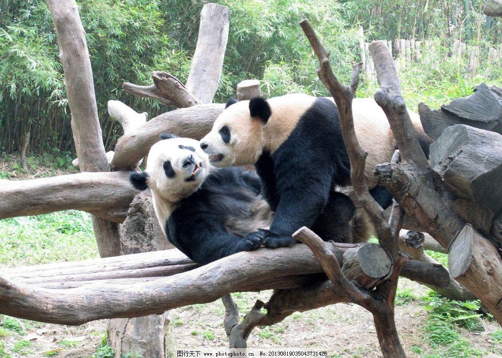 熊猫 大熊猫 动物 动物园 竹子 野生动物 生物世界 摄影 180dpi jpg