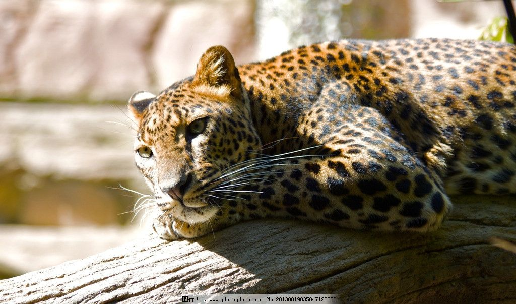 花豹 电脑壁纸 风景壁纸 桌面 野生动物 动物壁纸 豹子 猎豹 豹 壁纸