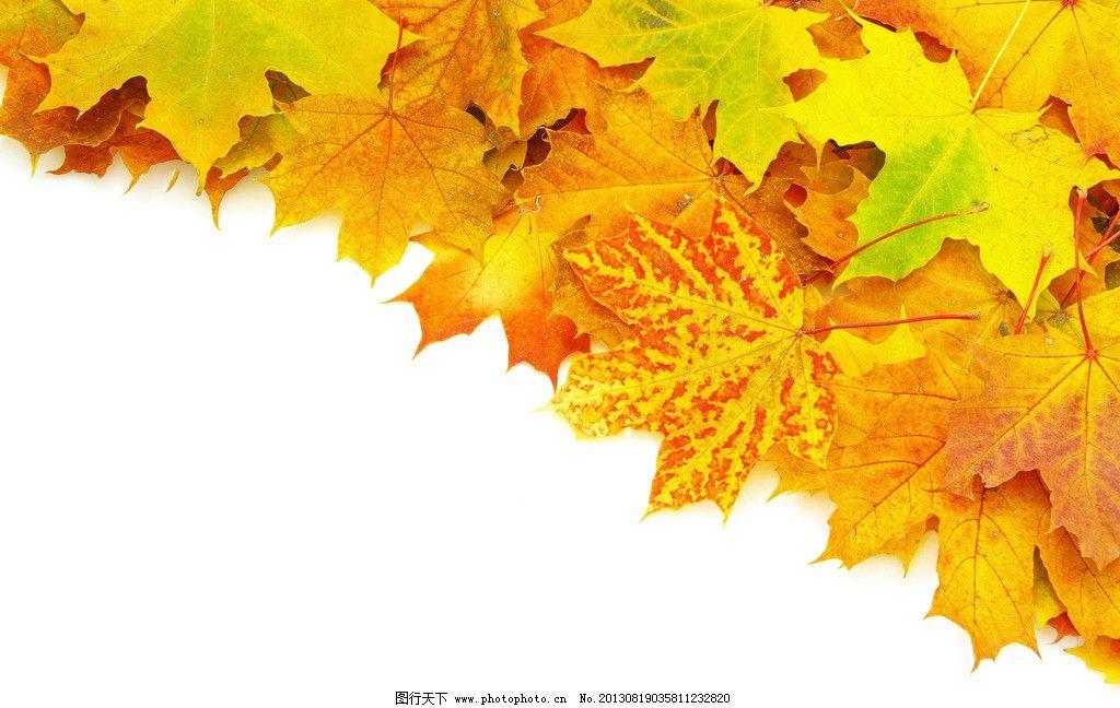 树叶 法桐 落叶 法国梧桐 秋天 背景 景观 壁纸 树枝树木树叶绿树