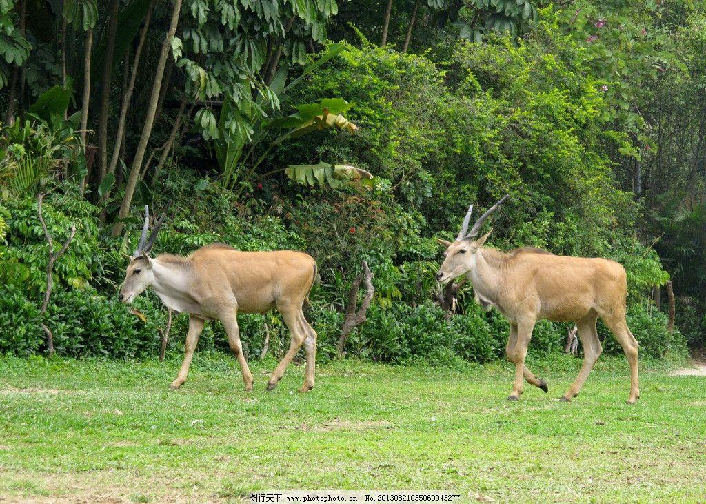 羚羊 草坪 动物 动物园 野生动物 生物世界 摄影 180dpi jpg