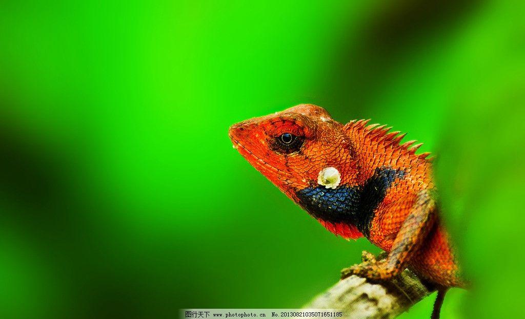 变色龙 发情 动物 野生动物 小动物 绿 微距 动物摄影 摄影