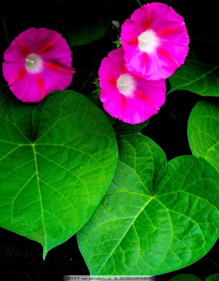 花卉 绿色 红色 白色 花朵 牵牛花 背景图 自然世界 花草 生物世界